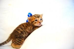 ベンガル子猫31番アオくん6