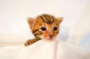 ベンガル子猫32番ミドリくん1