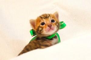 ベンガル子猫32番ミドリくん2