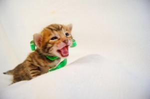 ベンガル子猫32番ミドリくん6