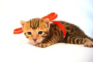 ベンガル子猫33番アカちゃん2
