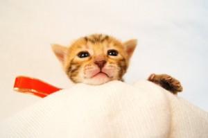 ベンガル子猫33番アカちゃん3