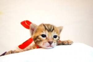 ベンガル子猫33番アカちゃん4