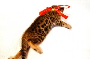 ベンガル子猫33番アカちゃん5