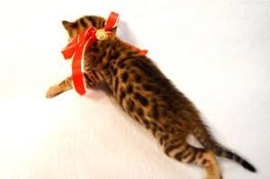 ベンガル子猫33番アカちゃん6