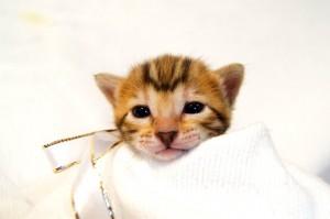 ベンガル子猫34番シロちゃん0