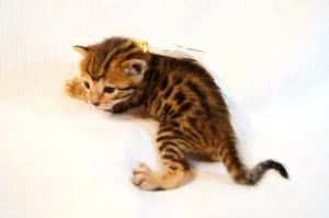 ベンガル子猫34番シロちゃん1