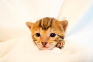 ベンガル子猫34番シロちゃん2