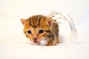 ベンガル子猫34番シロちゃん5