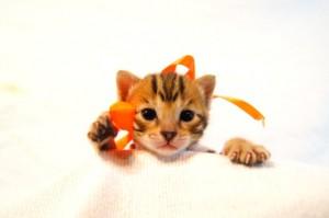 ベンガル子猫35番オレンジちゃん