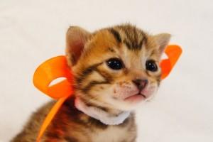 ベンガル子猫35番オレンジちゃん2