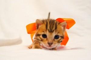 ベンガル子猫35番オレンジちゃん3