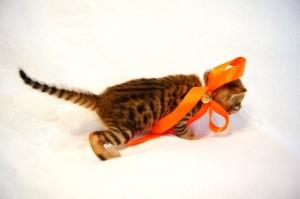 ベンガル子猫35番オレンジちゃん4