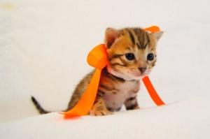ベンガル子猫35番オレンジちゃん5