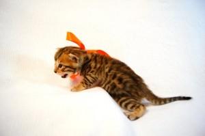 ベンガル子猫35番オレンジちゃん6