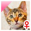 ベンガル猫の子猫16番ピンクちゃん