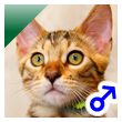 ベンガル猫の子猫18番グリーンくん