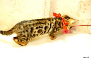 ベンガルの子猫cs3番あか君