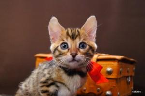 ベンガル子猫109番レッドちゃん