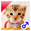 ベンガル子猫 20番あかくん
