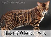 ベンガル猫のギャラリー