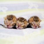 子猫 ブリーダー