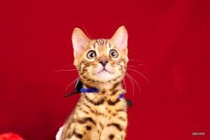 2ベンガルの子猫2016年1月7日生まれ220番ブラック君