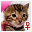 ベンガル猫の子猫2番ぴんくちゃん