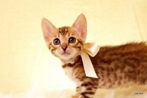 ベンガルの子猫2016年2月19日生まれ 216番シロちゃん