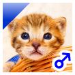 ベンガル子猫 23番あおくん