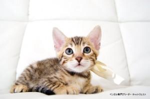 ベンガル子猫97番スノーちゃん