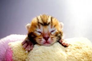 ベンガルの子猫30-1