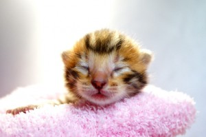 ベンガルの子猫31-1