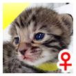 ベンガル猫の子猫3番きいろちゃん