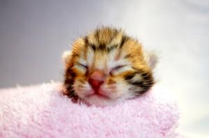 ベンガルの子猫32-1