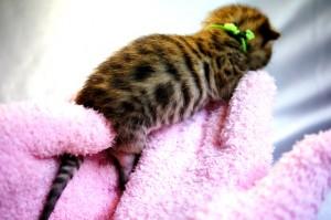 ベンガルの子猫32-2