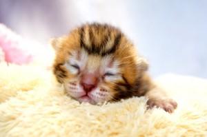 ベンガルの子猫33-1
