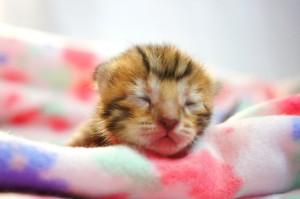 ベンガルの子猫33-4