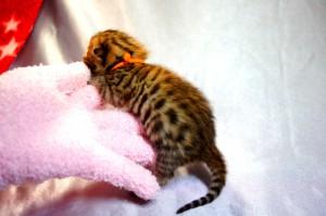 ベンガルの子猫35-3