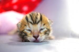 ベンガルの子猫35-4