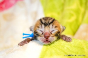 ベンガル子猫1月15日生37-0119-1