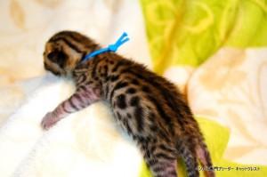 ベンガル子猫1月15日生37-0119-3