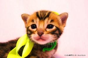 ベンガル子猫36番エメラルド君0201-1
