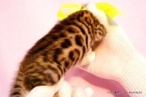 ベンガル子猫36番エメラルド君0201-2