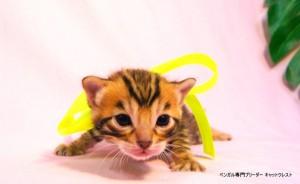 ベンガル子猫36番エメラルド君0201-4