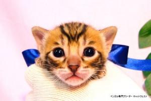 ベンガル子猫37番サファイア君0201-0