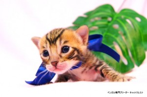 ベンガル子猫37番サファイア君0201-3