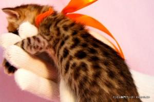 ベンガル子猫39番カーネリアンちゃん0201-3