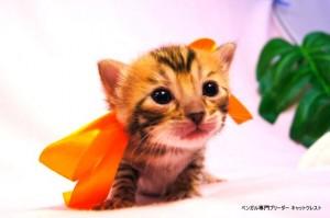 ベンガル子猫39番カーネリアンちゃん0201-4