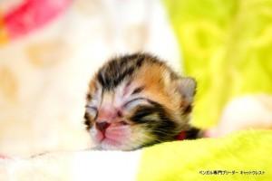 ベンガル子猫1月15日生40-0119-1